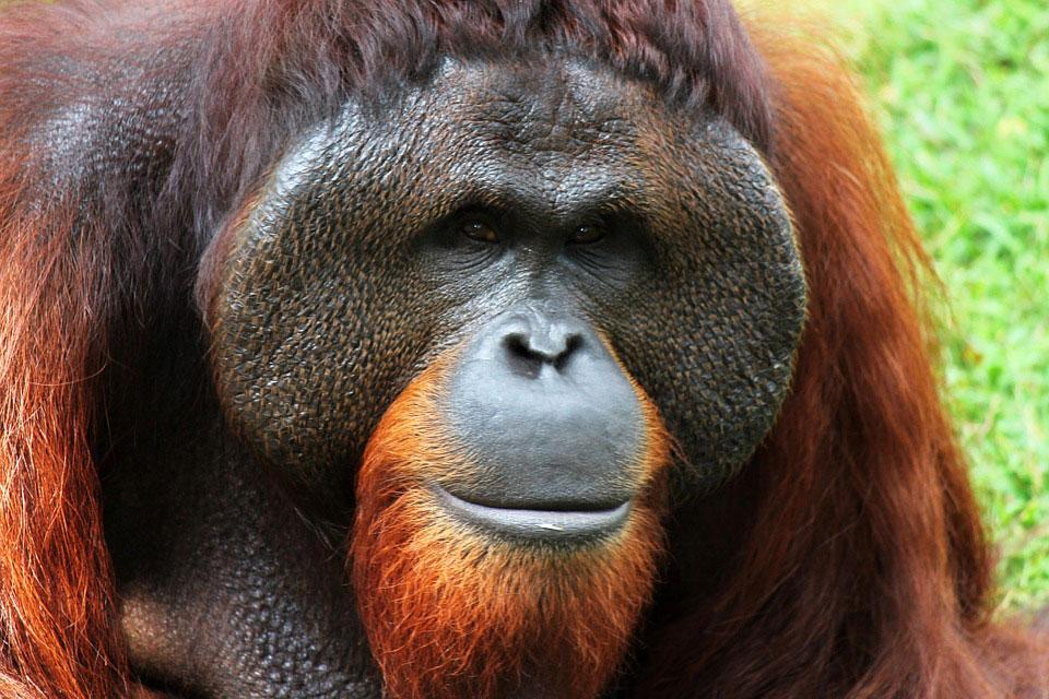 orang-outan-borneo-extinction-2