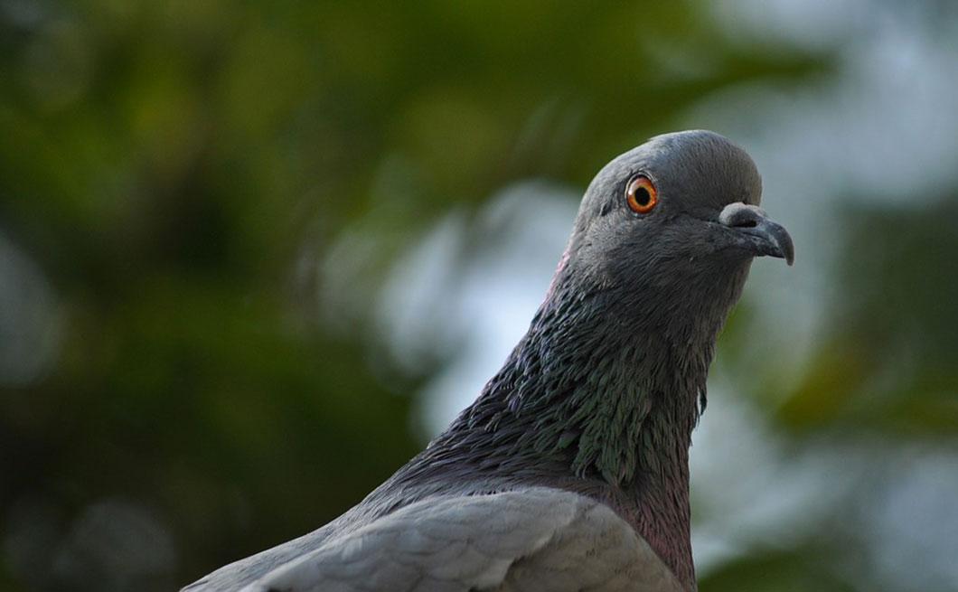 D nigr s les pigeons sont en r alit des oiseaux extr mement intelligents daily geek show - Faire fuir les pigeons ...