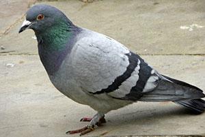 pigeon-commun