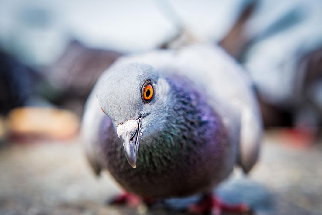 Les pigeons sont bien plus intelligent qu'on ne le croit via Shutterstock