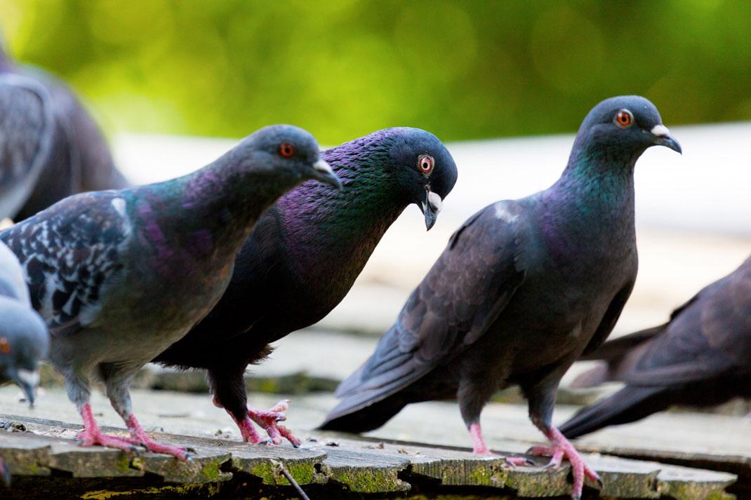 pigeons-oiseaux-intelligents-3