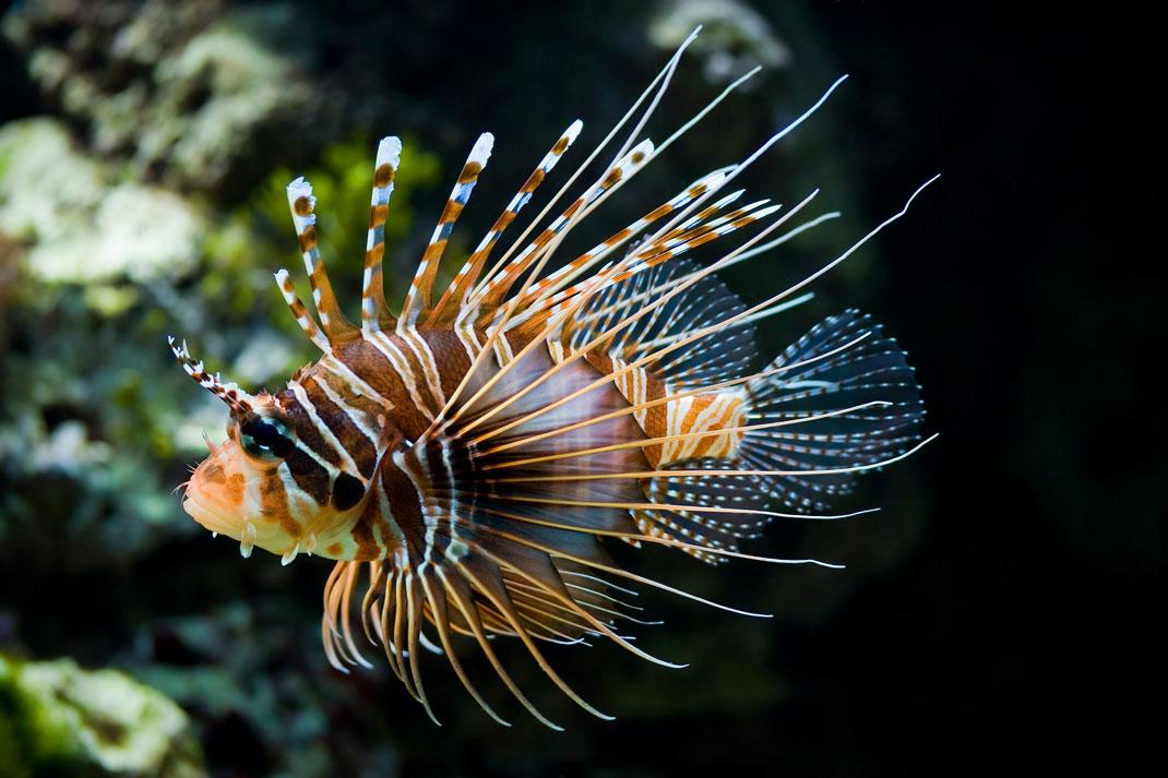 poisson-venimeux-mediterranee-danger-1