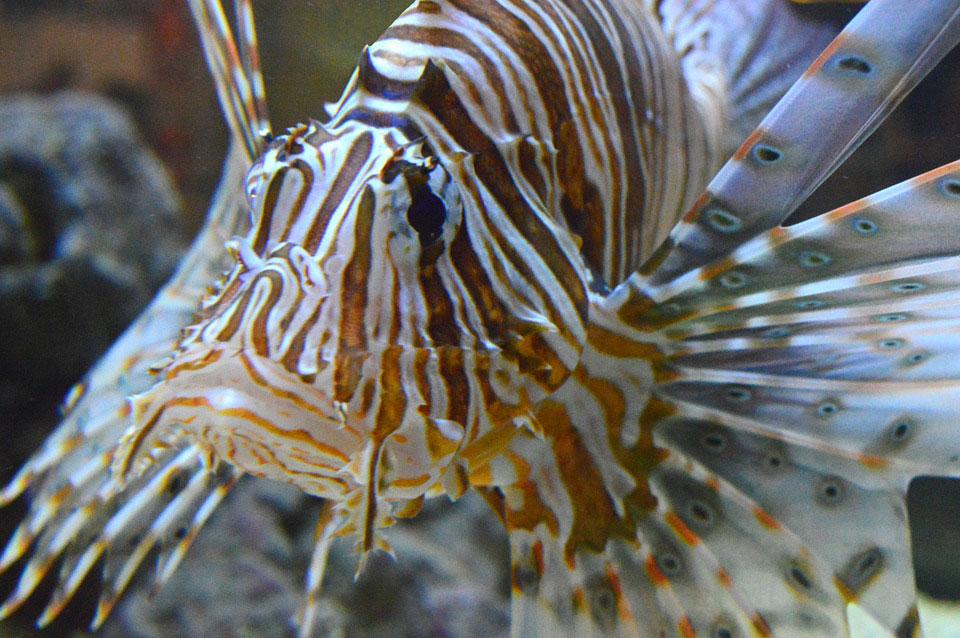 poisson-venimeux-mediterranee-danger-2