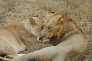 Deux lions africains