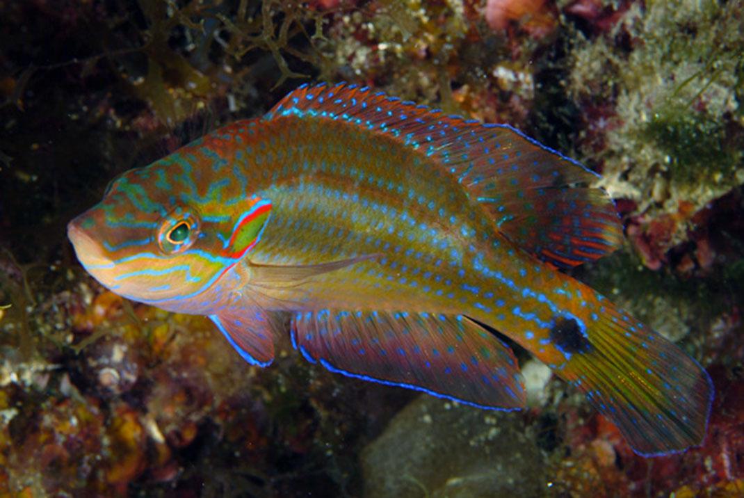 symphodus-ocellatus-2
