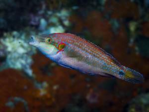 Un symphodus ocellatus via Shutterstock