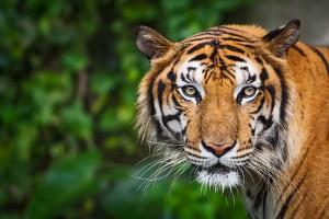 Portrait d'un tigre via Shutterstock