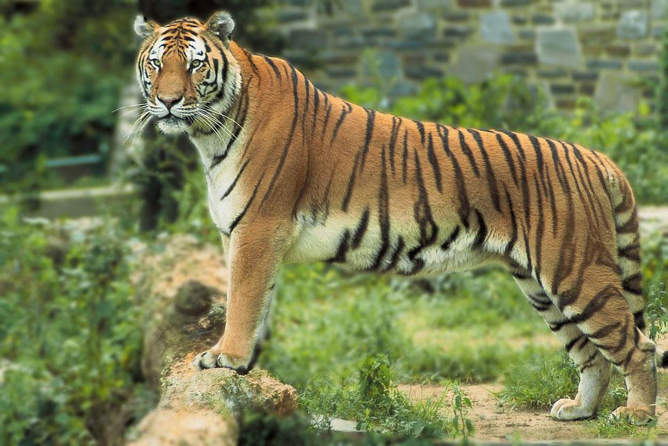 tigre-population-hausse-2