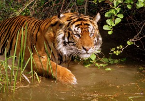 tigre-population-hausse-3