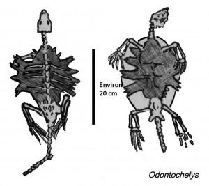 La cage thoracique de l'Odontochelys, une des premières tortues connues (by Conty)