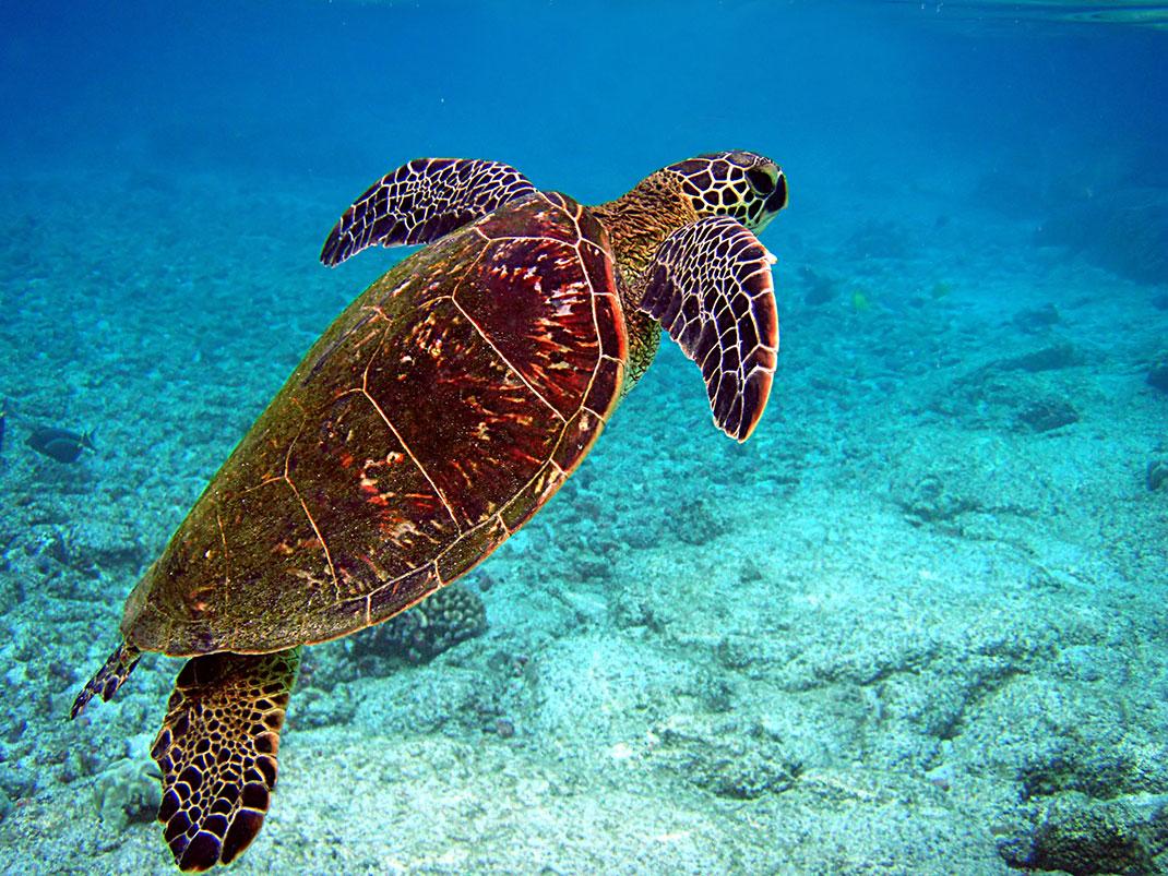Une tortue verte australienne