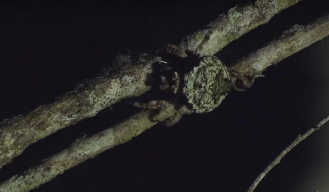 Caerostris-darwini-2