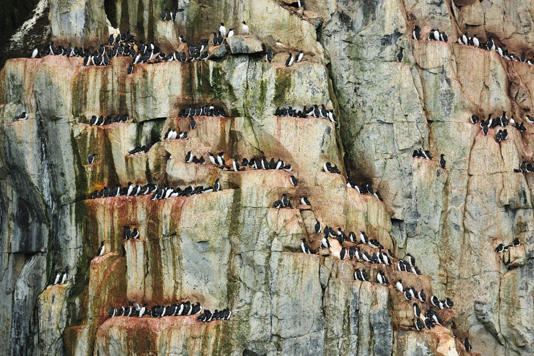 Un rassemblement de guillemots, oiseaux de mer, à Spitzberg (Norvège) ©Yves Adams