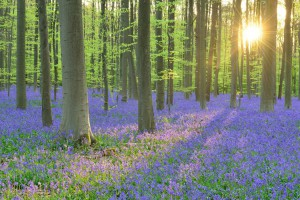 La forêt d'Hallerbos (Belgique), connue pour ses étendues de jacinthes sauvages ©Yves Adams