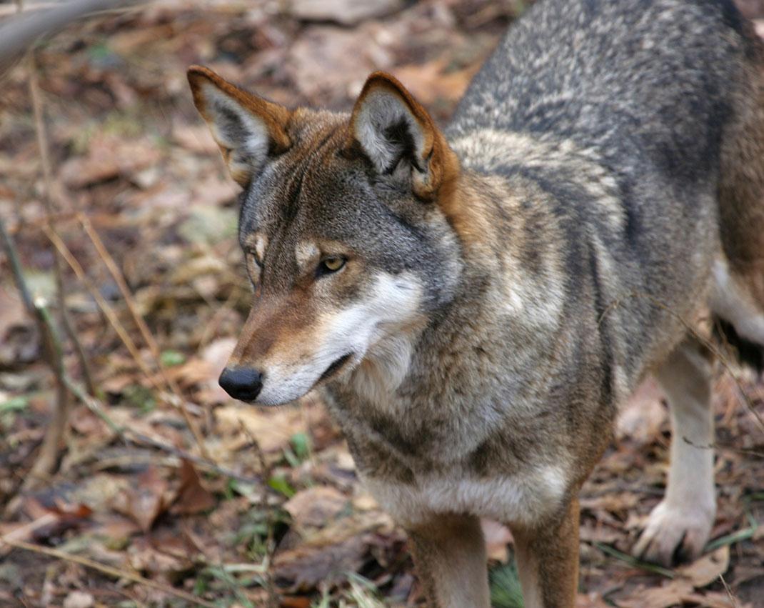 Loup-1