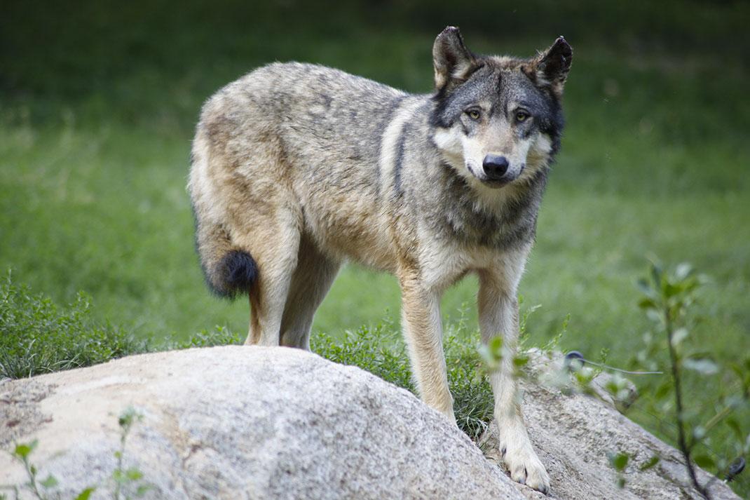 Loup-2