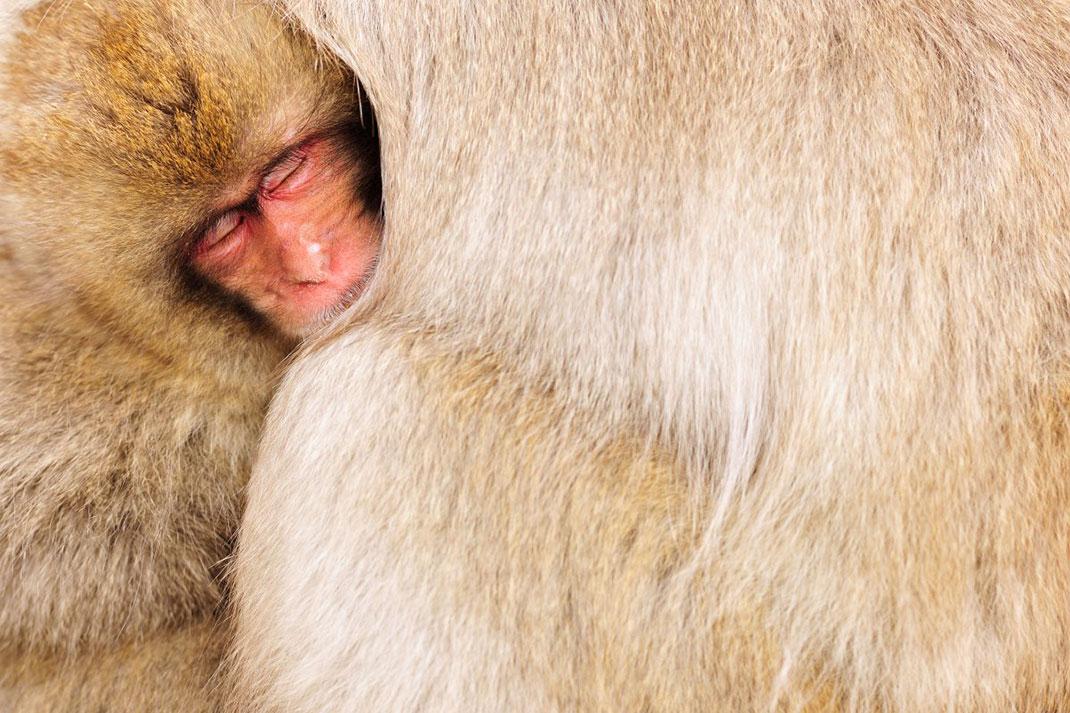 Un petit macaque japonais dans le pelage d'un adulte ©Yves Adams