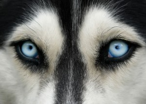 Les yeux d'un chien via Shutterstock