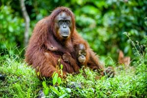 Un orang-outan via Shutterstock