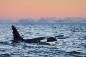 Un orque majestueux ©Yves Adams