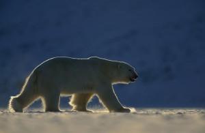 Un ours polaire ©Yves Adams