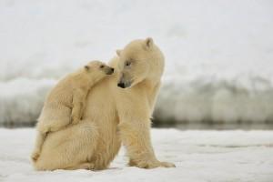 La tendre étreinte entre un ours polaire et son petit ©Yves Adams