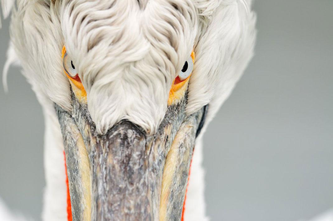 Le regard du pélican frisé ©Yves Adams