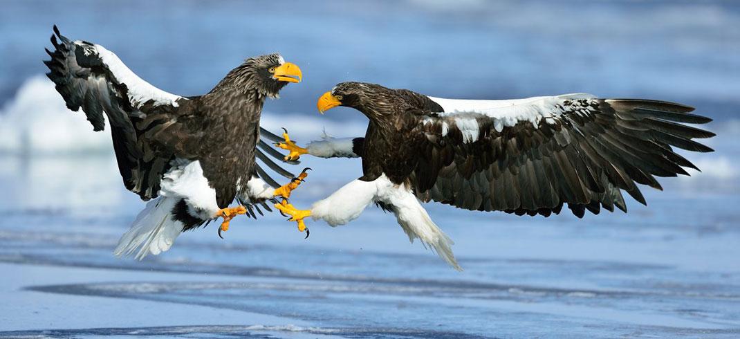 Le combat de deux pygargues empereur ©Yves Adams
