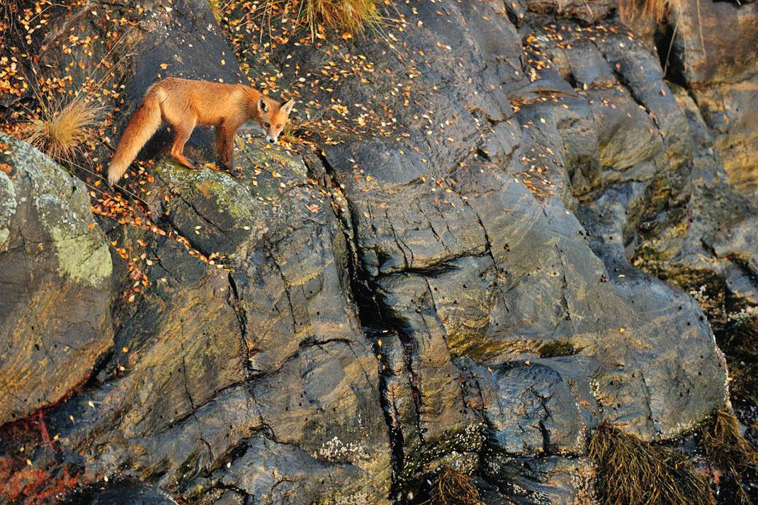 Un flamboyant renard ©Yves Adams