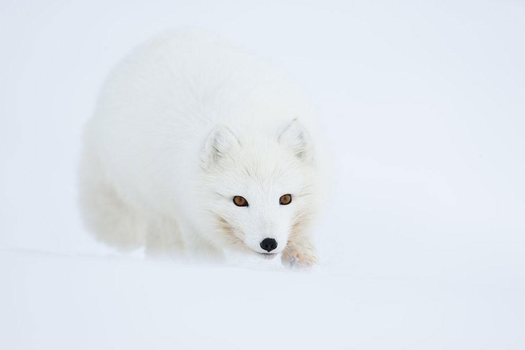 Un renard polaire avançant dans la neige ©Yves Adams