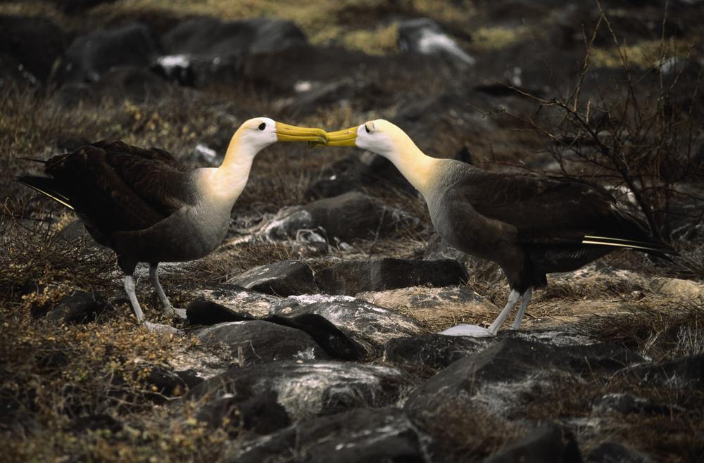 albatros-couple