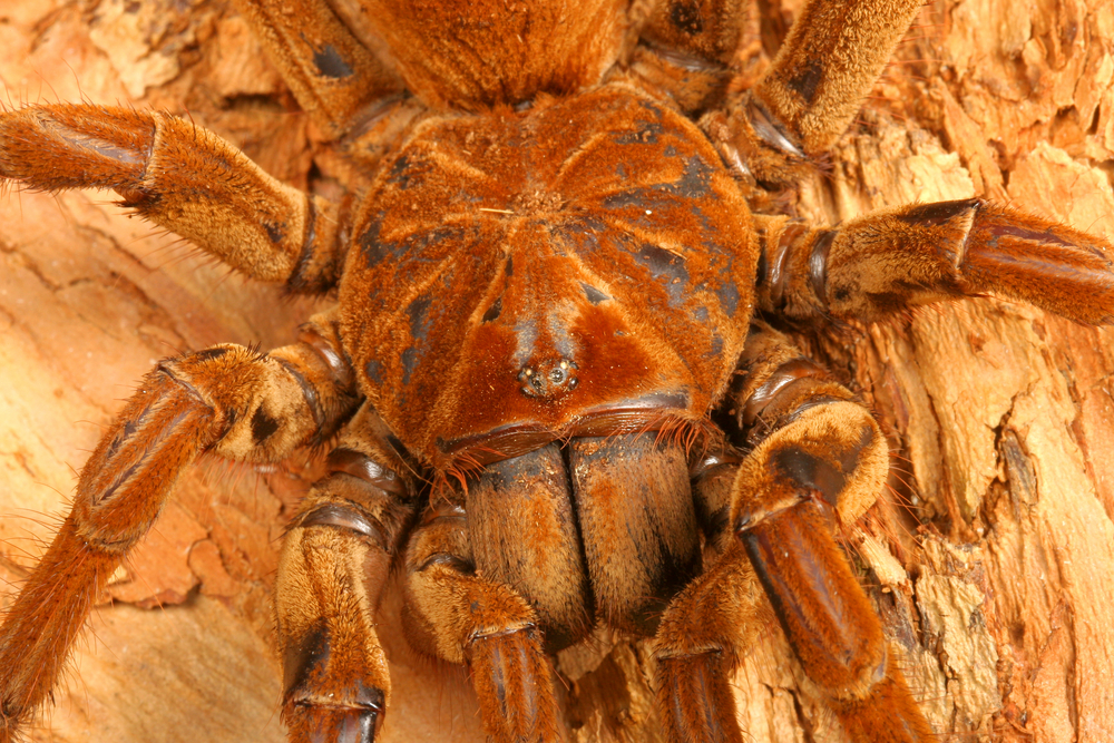araignee-goliath-grande