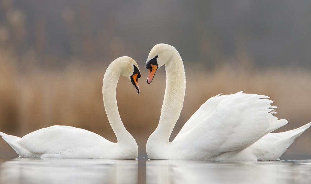 cygnes-couple