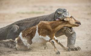 Un Dragon du Komodo attaque sa proie via Shutterstock