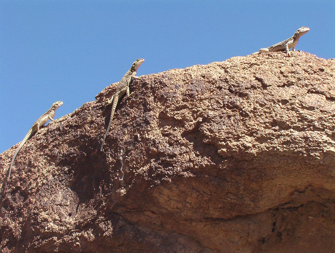 La faune du désert de Gobi via Wikimédia by Bogomolov.PL