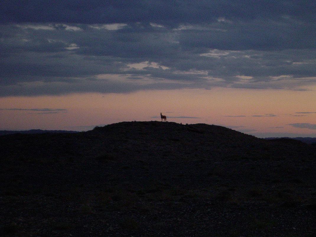 Un khulan, espèce mongole d'âne sauvage, au coucher du soleil via Wikimédia by Qfl247
