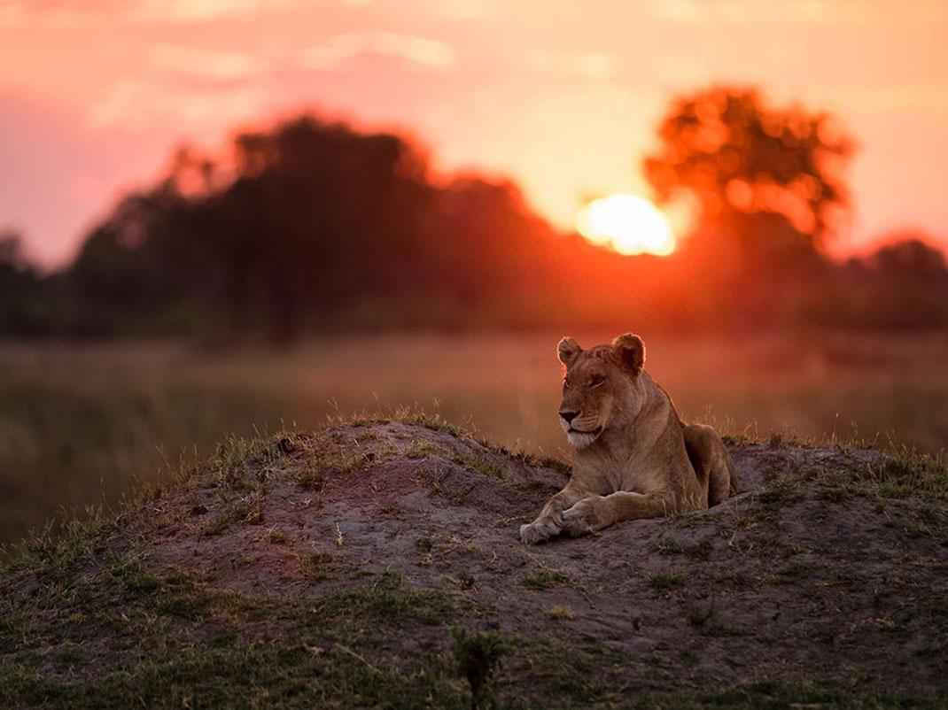 lionne-coucher-soleil