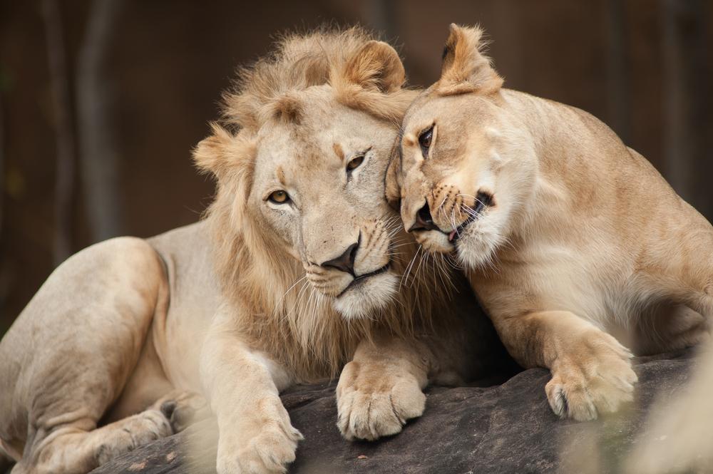 lions-couple