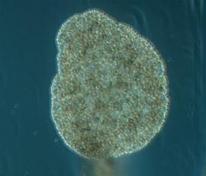 Placozoaires