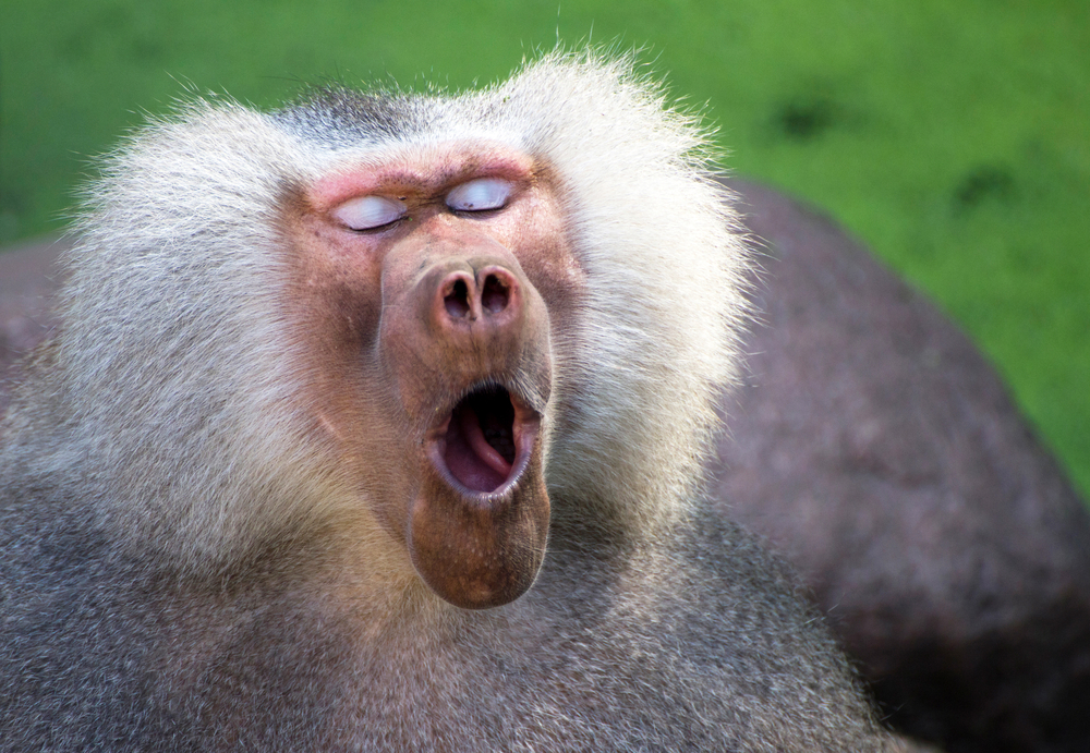 primate-fatigue