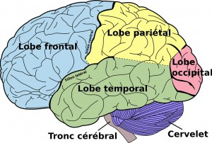 Schéma d'un cerveau humain