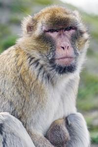 Un macaque de Barbarie © FlickR / Tambako The Jaguar