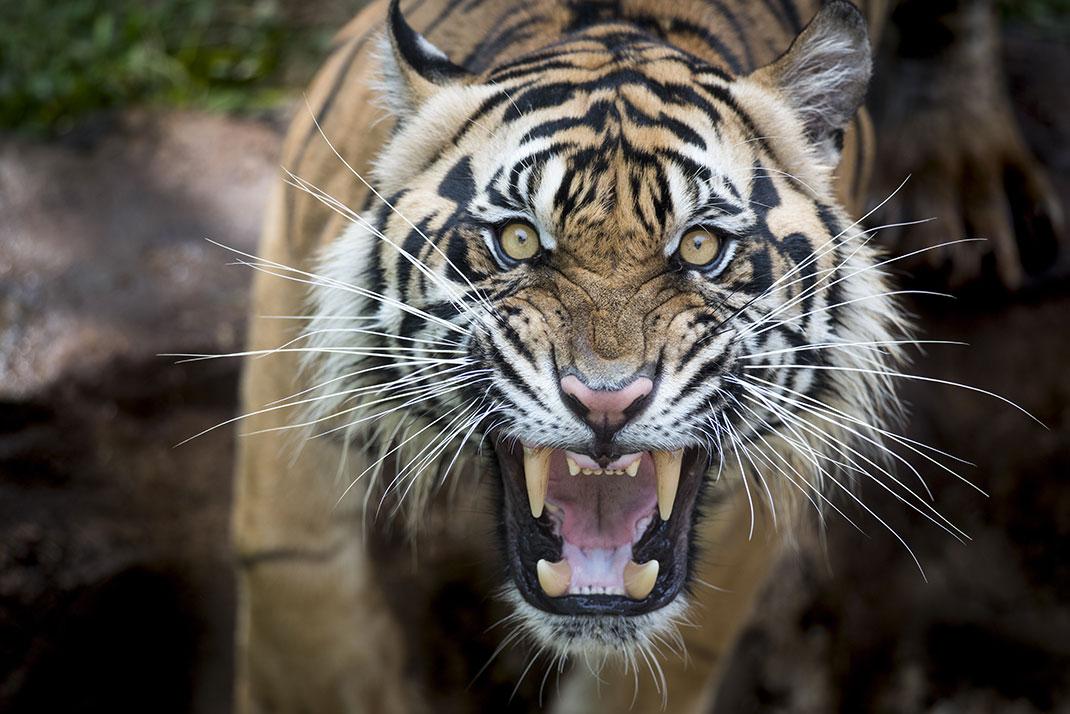 Un tigre via Shutterstock
