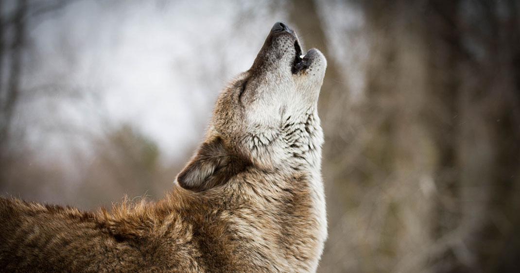 une-loup