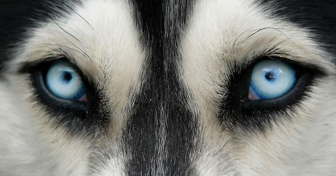 une-regard-husky