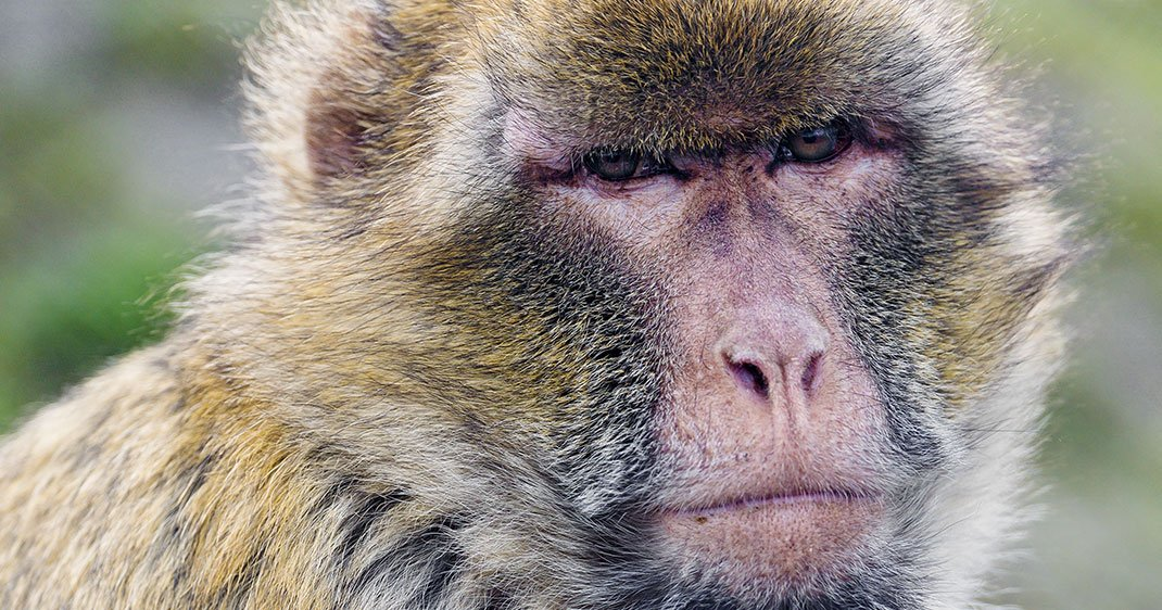 une-singe-grincheux