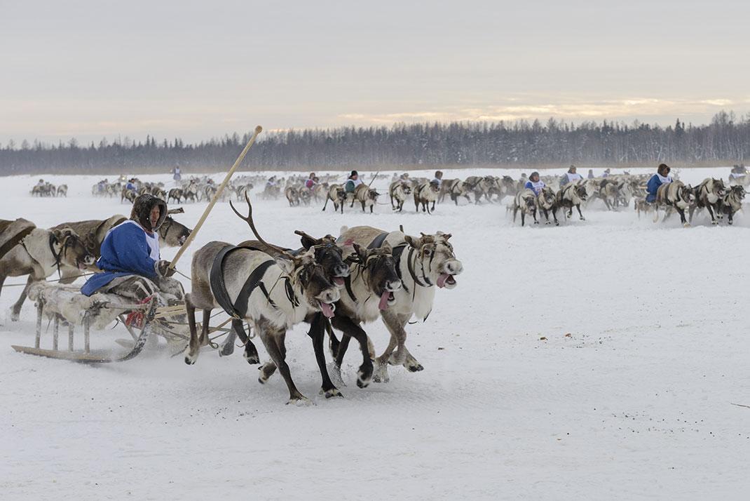 2 500 rennes ont été contaminés en Sibérie