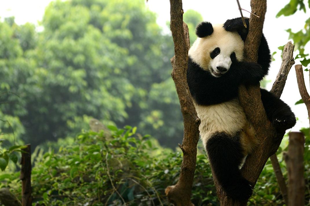 """Le panda géant est passé du statut """"en danger"""" au statut """"vulnérable"""""""