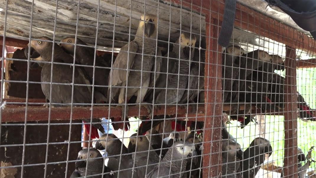 Des perroquets Jaco victimes de leur commerce