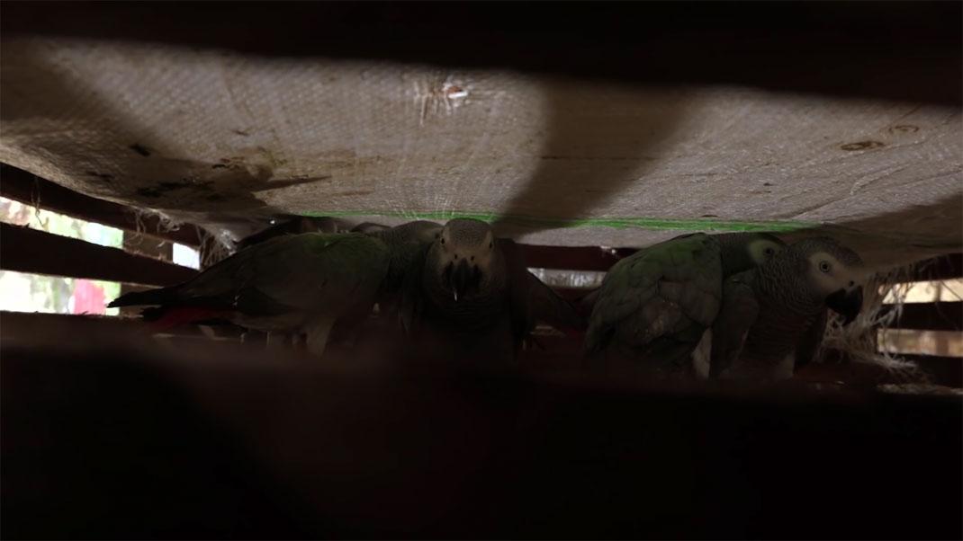 Des perroquets en cage